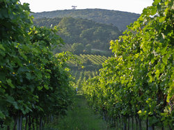 Lush Green Vineyards