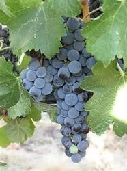 Grapes Are One Of The Best Crops In The Valley !