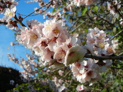 Almond Tree - Prunus amygdalus