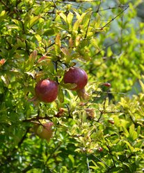 Pomegranate - Punica Granatum