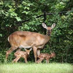 Deer with Newborn Fawns on Front Lawn