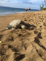 Sea Turtle On Our Beach