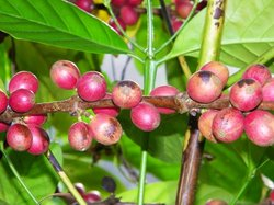 Coffee Tree on Property