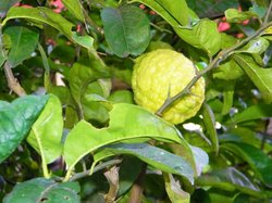 A lemon growing on the tree