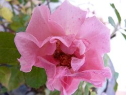 Our Wild Rose flower.