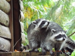 Racoon Family Visit