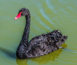 Black Swans Of Dawlish