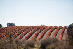 Discover Paso Robles' 200+ Vineyards