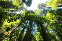 Groves of California Redwoods