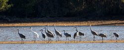 Whooping Crane And Traveling Buddies