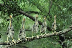 Five Green Heron Chicks