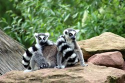 Lemurs at the Cameron Park Zoo