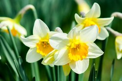 Daffodil Package