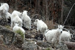 Custer State Park Goats