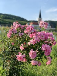 rose bush in the vineyards with Gumpoldskirchen Castle