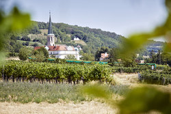 Wine harvest in Gumpoldskirchen