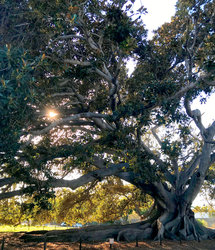Morton Bay Fig Tree