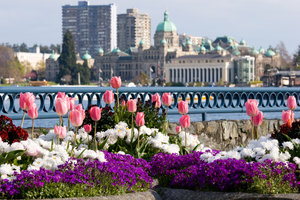 Inner Harbour Tulips